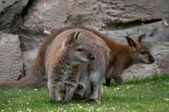 Doros?ej kobiety czerwony necked wallaby w trawie fotografia royalty free