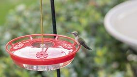 Dorosłej kobiety Hummingbird Selasphorus Ogoniasty platycercus zdjęcia stock