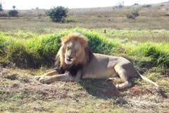 Dorosłej samiec lew przy odpoczynkiem Zdjęcie Royalty Free