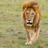 Dorosłej samiec lwa bieg Obraz Stock