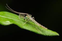 Dorosłej samiec muszka Zamyka up (Chironomidae) 2009 kwiatów makro- lato super Zdjęcie Stock