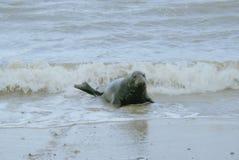 Dorosła foka w kipieli Fotografia Royalty Free