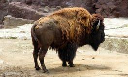 Dorosły bizon przy zoo Obrazy Stock
