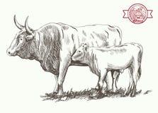 Dorosły byk i goby Obraz Stock