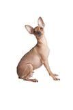 Dorosły chihuahua Fotografia Stock