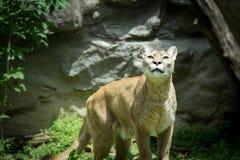 Dorosły Halnego lwa pumy kuguara dopatrywania zdobycz w drewnach Fotografia Royalty Free
