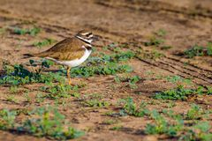 Dorosły Killdeer Obraz Royalty Free