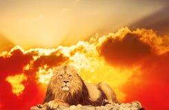 Dorosły lew zdjęcie royalty free