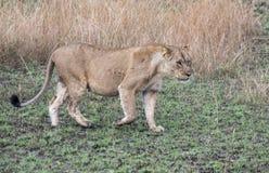 Dorosły lwicy odprowadzenie w trawach w królowej Elizabeth obywatela normie Obrazy Royalty Free