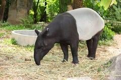 Dorosły malayan tapir Zdjęcia Royalty Free