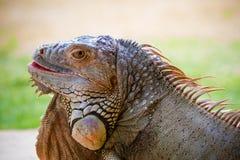 Dorosły Zielona iguana Obraz Royalty Free