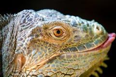 Dorosły Zielona iguana Zdjęcie Royalty Free