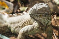 Dorosła duża iguana Obraz Royalty Free