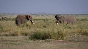 Dorosli byków słonie Przed walką Oceniają Each Inny W Afryka I Onieśmielają zbiory
