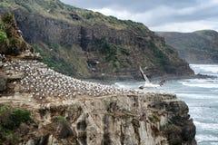Dorosli gannets siedzi na falezie Pacyficzny ocean z fala w półdupkach Zdjęcie Royalty Free
