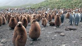 Dorosli i młodzi cesarzów pingwiny na Falkland wyspach zbiory wideo
