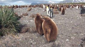 Dorosli i młodzi cesarzów pingwiny na Falkland wyspach zdjęcie wideo