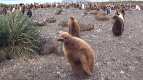 Dorosli i młodzi królewiątko pingwiny na Falkland wyspach zdjęcie wideo