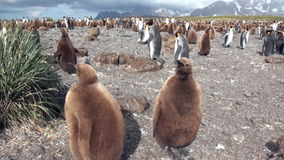 Dorosli i młodzi królewiątko pingwiny na Falkland wyspach zbiory