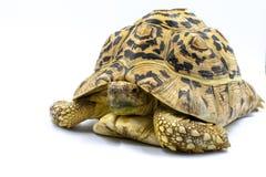 Dorosli lamparta Tortoise Stigmochelys pardalis na białym tle zdjęcie stock
