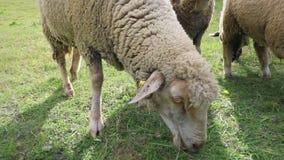 Dorosli sheeps je trawy w łące zbiory