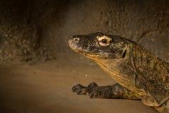 Dorosły Komodo Dragin w jamie Fotografia Stock