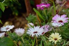 Dorotheanthus bellidiformis Stockfotografie