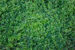 (Dorothy Barton) small ferns. Royalty Free Stock Photo