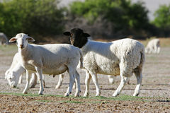 Dorper Sheep Royalty Free Stock Image