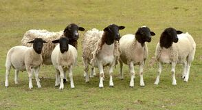 Free Dorper Sheep Flock In South Africa Royalty Free Stock Photos - 181922008