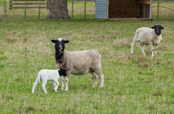 Dorper Sheep. Dorper mother & Father sheep with their young lamb Stock Images