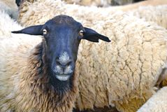 Dorper sheep to the slaughter Royalty Free Stock Photos