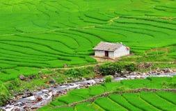 Dorps groene rijst Royalty-vrije Stock Afbeeldingen