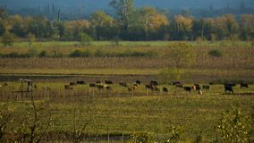 Dorpskoeien die op groen gebied dichtbij tuin weiden, die gras, landelijk landschap eten stock footage