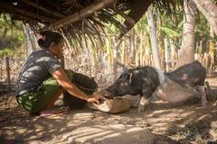 Dorpsvrouw die haar varken voeden onder basisschuilplaats stock fotografie