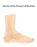 Dorsal digital nerves of foot. Commonly affected in diabetic neuropathy, eps10 Royalty Free Stock Photo