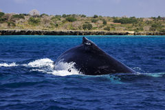 Dorsal fin of humpback whale at Mozambique Royalty Free Stock Photography