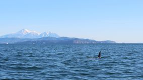 The dorsal fin of a killer whale is visible above the waters of the Pacific Ocean near the Kamchatka Peninsula, Russia. Avachinsky. The killer whale or orca stock photos