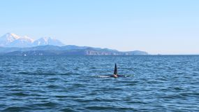 The dorsal fin of a killer whale is visible above the waters of the Pacific Ocean near the Kamchatka Peninsula, Russia. Avachinsky. The killer whale or orca royalty free stock photography