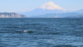 The dorsal fin of a killer whale is visible above the waters of the Pacific Ocean near the Kamchatka Peninsula, Russia. Koryaksky. The killer whale or orca royalty free stock image
