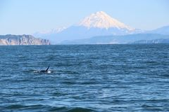 The dorsal fin of a killer whale is visible above the waters of the Pacific Ocean near the Kamchatka Peninsula, Russia. Koryaksky. The killer whale or orca royalty free stock photography