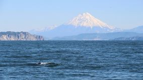 The dorsal fin of a killer whale is visible above the waters of the Pacific Ocean near the Kamchatka Peninsula, Russia. Koryaksky. The killer whale or orca stock image