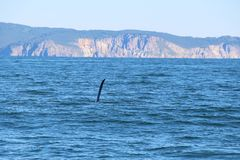 The dorsal fin of a killer whale is visible above the waters of the Pacific Ocean near the Kamchatka Peninsula, Russia. The killer whale or orca Orcinus orca is stock images