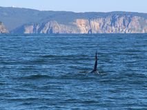 The dorsal fin of a killer whale is visible above the waters of the Pacific Ocean near the Kamchatka Peninsula, Russia. The killer whale or orca Orcinus orca is royalty free stock photos
