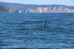 The dorsal fin of a killer whale is visible above the waters of the Pacific Ocean near the Kamchatka Peninsula, Russia. The killer whale or orca Orcinus orca is stock photos