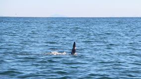 The dorsal fin of a killer whale is visible above the waters of the Pacific Ocean near the Kamchatka Peninsula, Russia. The killer whale or orca Orcinus orca is stock photo