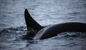 Dorsal Fin Of An Orca. Close up view of the dorsal fin of an orca. Image taken in northern Norway royalty free stock photography