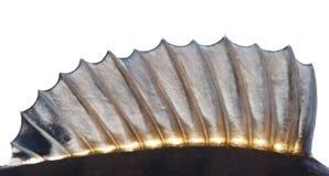 Dorsal fin of a perch Stock Photos
