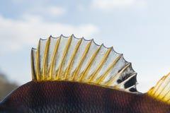 Dorsal fin of a perch Royalty Free Stock Photo