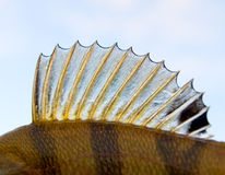 Dorsal fin of a perch - looks like punk's mohawk! Stock Image